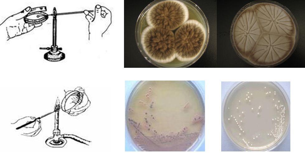2、三点接种 在研究霉菌形态时常用此法。此法即把少量的微生物接种在平板表面上,成等边三角形的三点,让它各自独立形成菌落后,来观察、研究它们的形态。除三点外,也有一点或多点进行接种的。 3、穿刺接种 在保藏菌种或研究微生物的动力时常采用此法。做穿刺接种时,用的接种工具是接种针。用的培养基一般是半固体培养基。它的做法是:用接种针蘸取少量的菌种,沿半固体培养基中心向管底作直线穿刺,如某菌具有鞭毛而能运动,则在穿刺线周围能够生长。